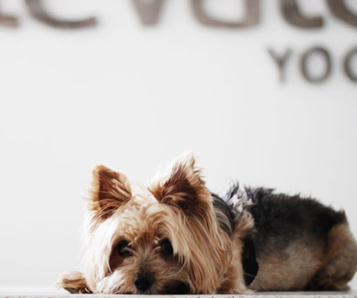 Elevate Yoga studio dog, Gucci